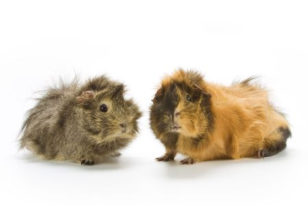 a pair of guinea pigs