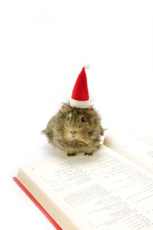 christmas guinea pig: adorable guinea pig wearing a santa hat Stock Photo