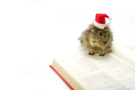 adorable guinea pig wearing a santa hat photo