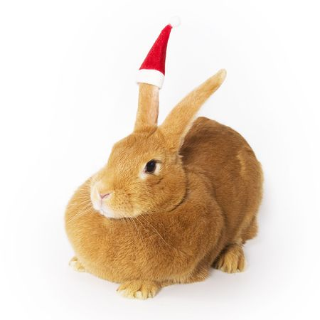Bunny wearing santa hat photo