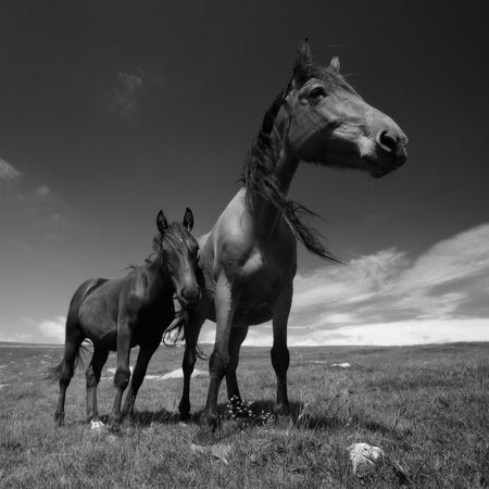 bw: Black and white photo of some horses