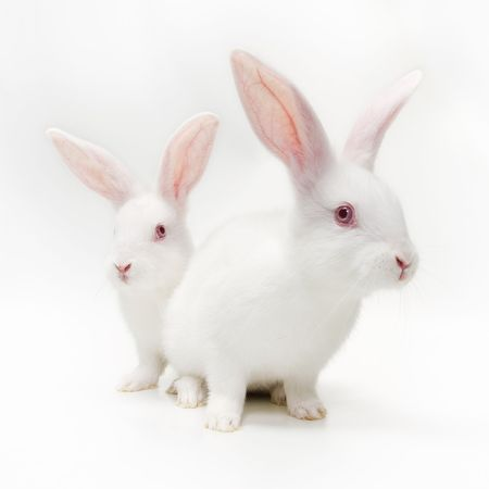 albino: White bunnies Stock Photo