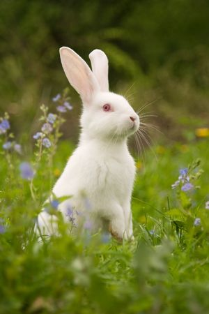 White bunny photo