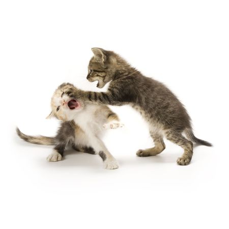 cats playing: Kittens on white background Stock Photo