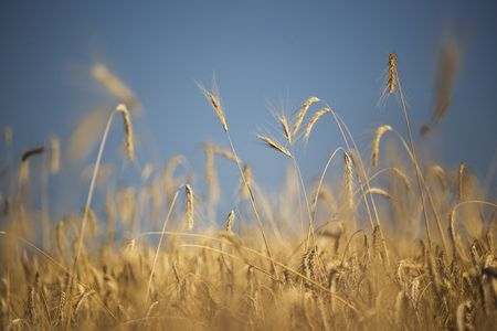 Wheat against blue sky Stock Photo - 3696467