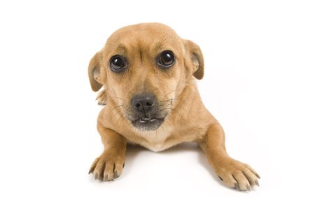 Cute brown dog on white background Stock Photo