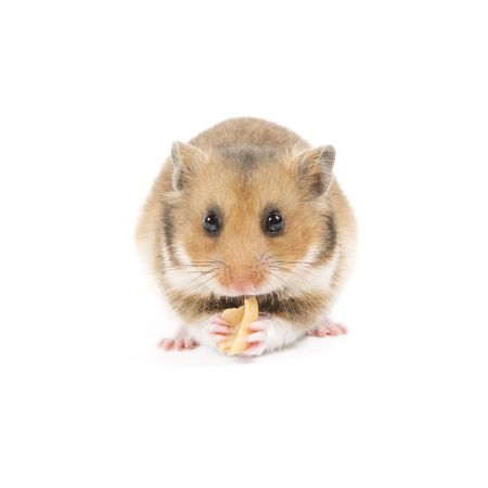 Adorable hamster eating a peanut isolated on a white background
