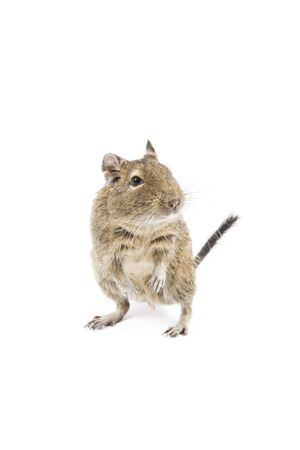 Photo of a degu isolated on a white background Reklamní fotografie - 4476101