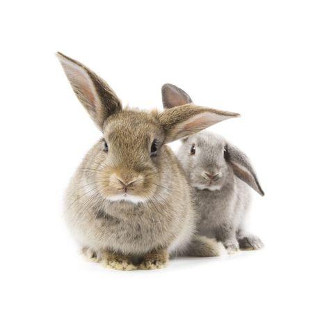 wit konijn: Twee schattige konijnen geïsoleerd op een witte achtergrond Stockfoto