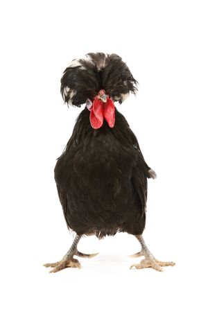 cockrel: Crested black dutch rooster isolated on white