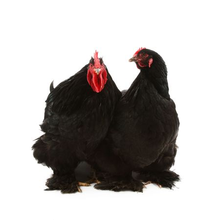 cockrel: Black cochin rooster and hen isolated on white Stock Photo