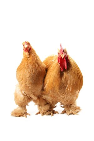 Buff cochin rooster and hen isolated on a white background