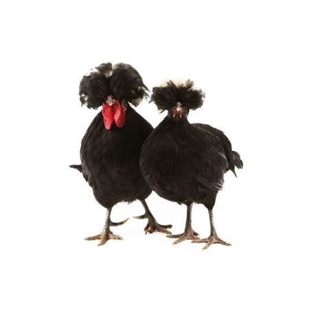 dutch: Crested black dutch rooster and hen isolated on white