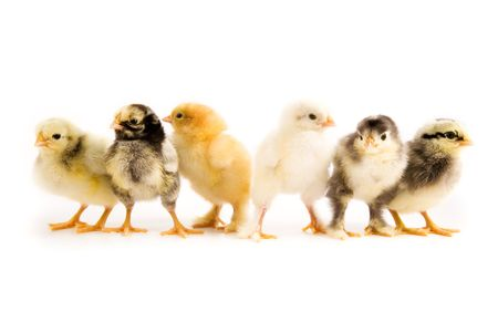 polish chicken: A group of chicks isolated on white