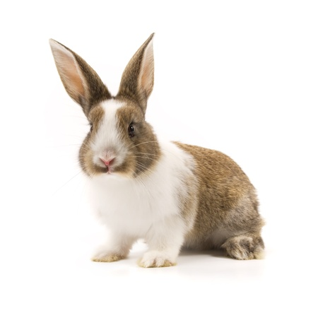 lapin blanc: Adorable lapin isol� sur un fond blanc