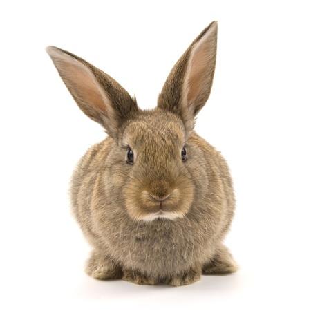 liebre: Adorable conejo aislados sobre un fondo blanco Foto de archivo