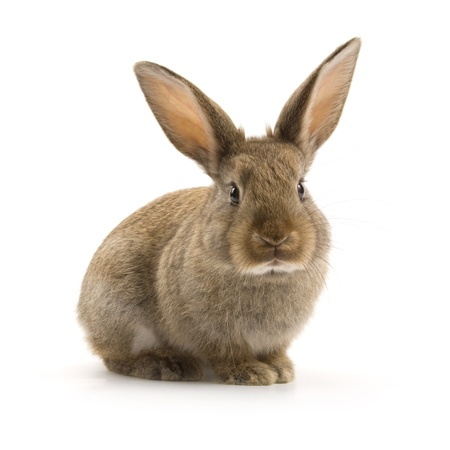 liebre: Adorable conejo aislado en un fondo blanco