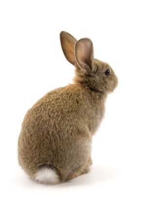 lepre: Adorabile coniglio isolato su uno sfondo bianco