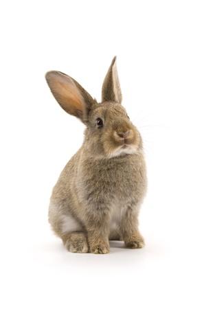 wit konijn: Schattige konijn geïsoleerd op een witte achtergrond Stockfoto