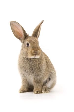 lepre: Adorable coniglio isolato su uno sfondo bianco