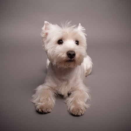 Adorable West Highland Terrier (Westie) on a gray background Stock Photo - 13348067