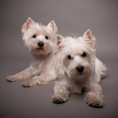 Two adorable West Highland Terrier (Westie) on a gray background photo