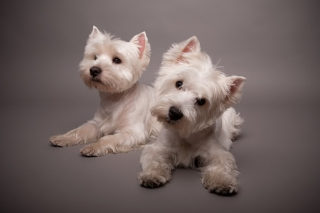 Two adorable West Highland Terrier (Westie) on a gray background Stock Photo - 13348183