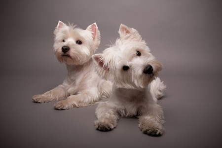 Two adorable West Highland Terrier (Westie) on a gray background Stock Photo - 13348175