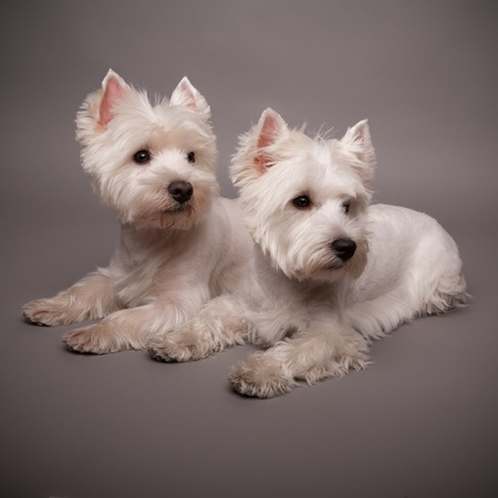 Two adorable West Highland Terrier (Westie) on a gray background Stock Photo - 13348081