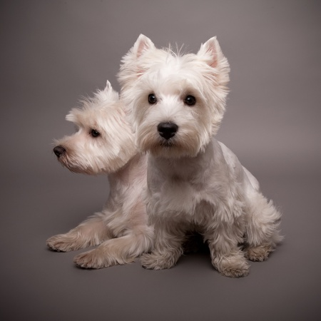 Two adorable West Highland Terrier (Westie) on a gray background Stock Photo - 13348125