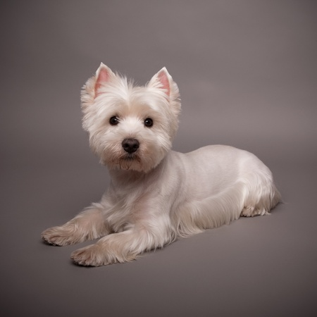 highlands: Adorable West Highland Terrier (Westie) on a gray background