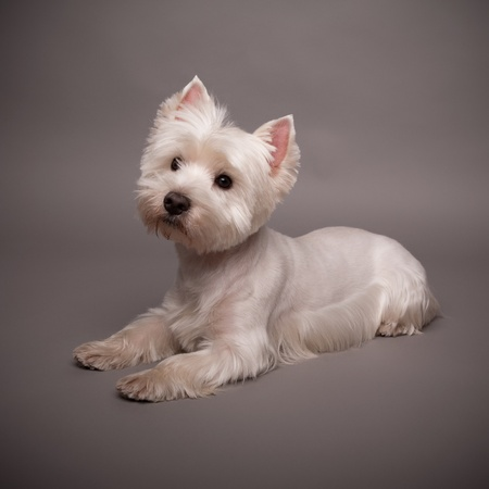 Adorable West Highland Terrier (Westie) on a gray background Stock Photo - 13348077