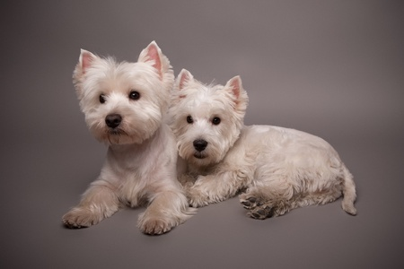 Two adorable West Highland Terrier (Westie) on a gray background Stock Photo - 13348139