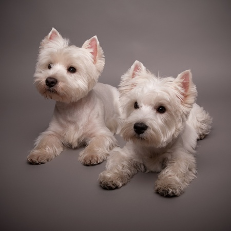 Two adorable West Highland Terrier (Westie) on a gray background Stock Photo - 13348120