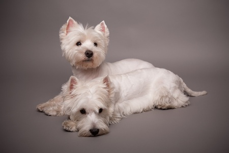 Two adorable West Highland Terrier (Westie) on a gray background Stock Photo - 13347988