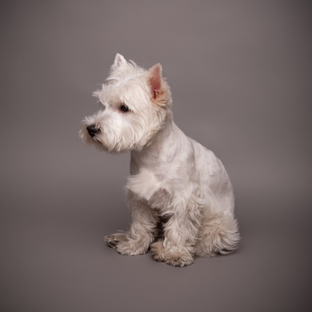 Adorable West Highland Terrier (Westie) on a gray background photo