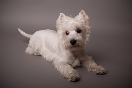 Adorable West Highland Terrier (Westie) on a gray background Stock Photo - 13347986