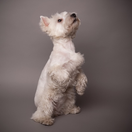 Adorable West Highland Terrier (Westie) on a gray background Stock Photo - 13348079