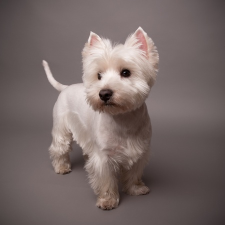 Adorable West Highland Terrier (Westie) on a gray background
