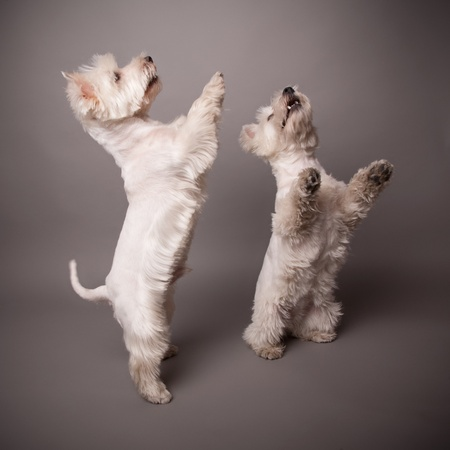 Two adorable West Highland Terrier (Westie) on a gray background Stock Photo - 13348075