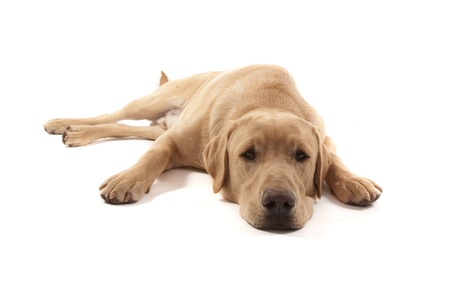 Labrador dog isolated on white Stock Photo - 13347848