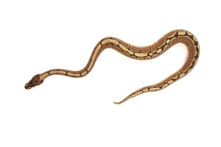 ball python: Ball python isolated on white   Stock Photo