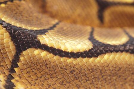 ball python: Ball Python Snakeskin detail (macro)