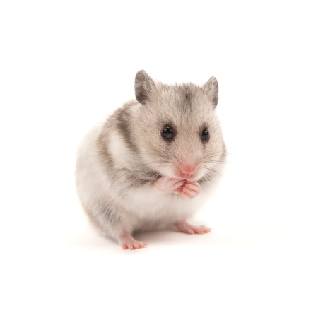 hamster: Adorable hamster isolated on white Stock Photo
