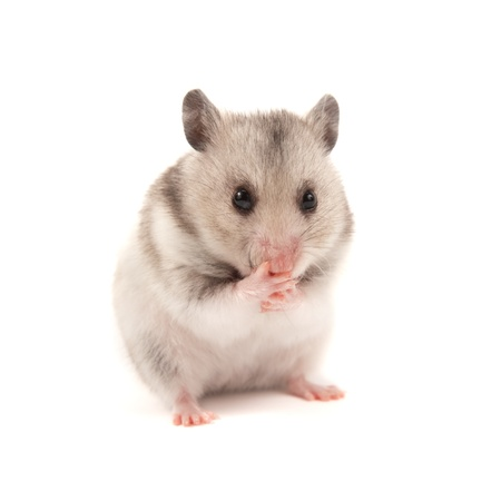 Adorable hamster isolated on white photo
