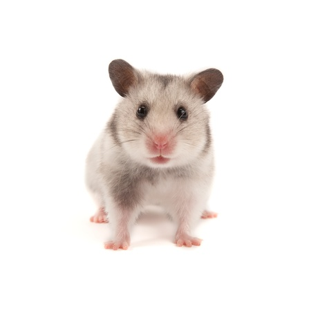 Adorable hamster isolated on white Stock Photo