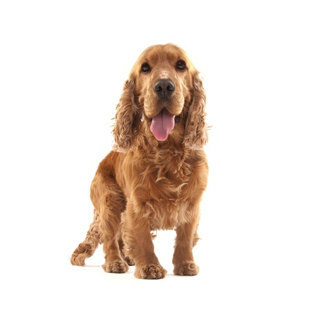 Adorable Cocker Spaniel isolated on white