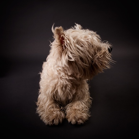 cute westie: West Highland White Terrier on a black background