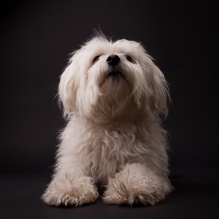 maltese dog: Adorable Maltese on a black background