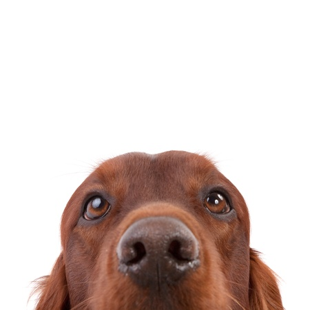 Irish Setter isolated on white Stock Photo